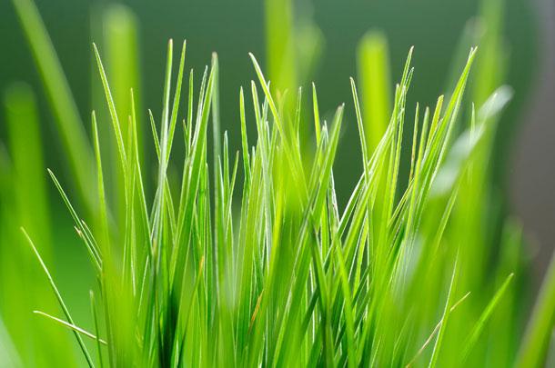 Brotes verdes