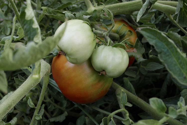 Mata de tomate de Aranjuezz