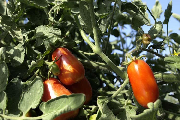 Mata de tomates pera