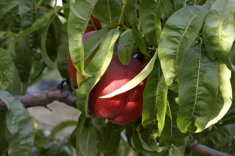 Árbol nectarina