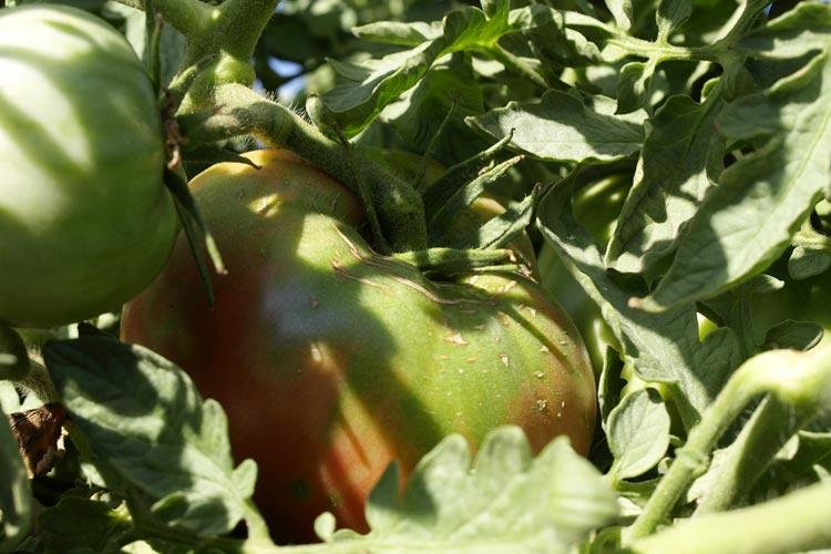 Mata tomate morado